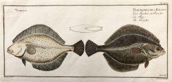 Pleuronectes Flesus by Marcus Bloch (1723-1799)