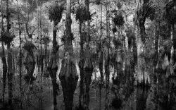 Pond Cypress by Sandra Mae Jensen