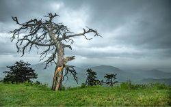 Tree at Rough Ridge by Sandra Mae Jensen