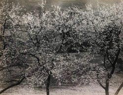 Apple Trees by Bayard Wootten