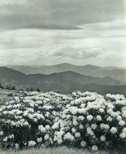 Rhododendron Roan Mountain by Bayard Wootten (1875-1959)