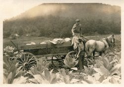 Loading Tobacco on a Horse Drawn Wagon by Wootten, Bayard (1875-1959)
